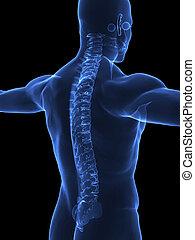 espina dorsal, radiografía, humano