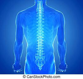 espina dorsal, radiografía, humano, vista