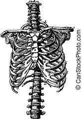 espina dorsal, vendimia, derechos, jaula costilla, engraving.