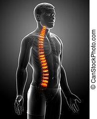 espinazo, disco, anatomía, intervertebral