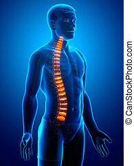 espinazo, intervertebral, anatomía, disco