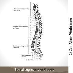espinhal, segmentos, e, roots.
