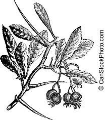 espino, crus-galli, vendimia, norteamericano, crataegus, o, engraving.