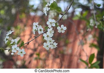 espino, flores