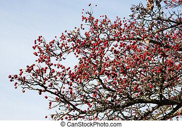 espino, maduro, bayas rojas