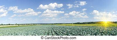 esplêndido, campo, de, verde, repolhos, por, summertime.