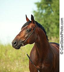 esportiva, cavalo, portrait., baía