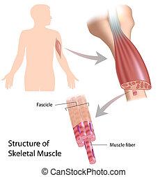 esquelético, músculo, estructura, eps10