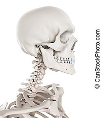 esquelético, -, sistema, pescoço