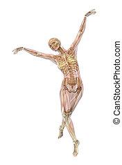 esqueleto, com, músculos, -, balé, pose