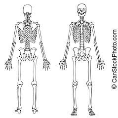 esqueleto, frente, y, espalda