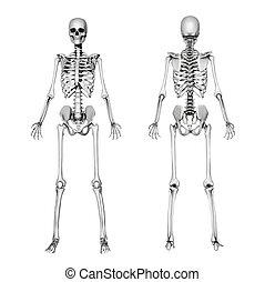 esqueleto, frente, y, espalda, -, dibujo a lápiz