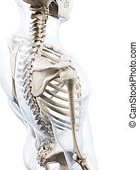 esqueleto, human