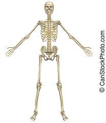 esqueleto humano, anatomía, vista delantera