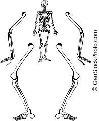 esqueleto humano, dibujo