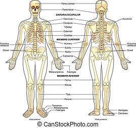 esqueleto, humano