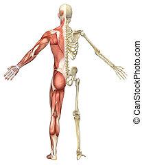 esqueleto, muscular, dividir, macho, vista trasera