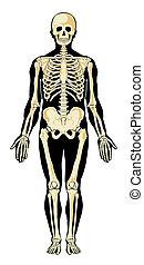 esqueleto, separado, ilustración, vector, humano, layers.