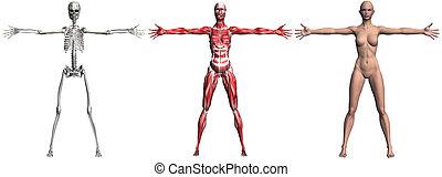 esqueleto, y, músculos, de, un, humano, hembra