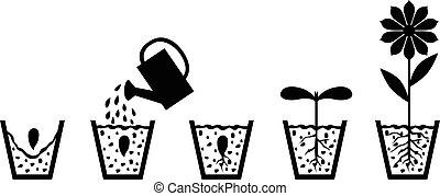 esquema, planta, flor, crescimento, semente