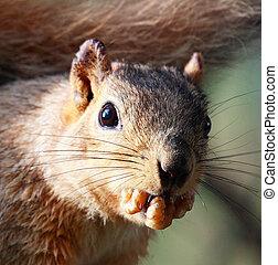 esquilo, noz