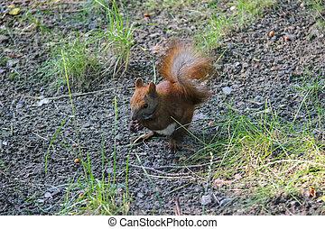 esquilo vermelho, com, noz, cidade, parque
