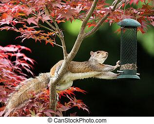 essende, eichhörnchen, bunte, grau, japanisches , zubringerlinie, vogel, ahorn