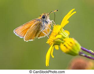Essex skipper yellow flower - Essex skipper (Thymelicus ...