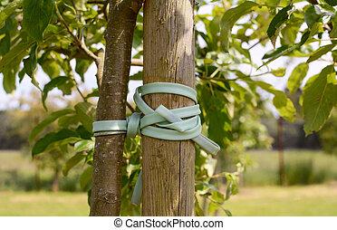 estaca, árbol, joven, atado