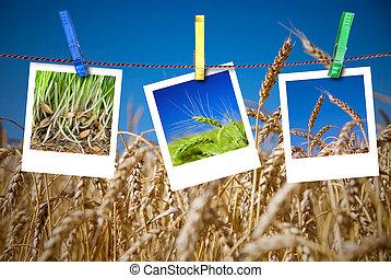 estacional, concepto, trigo, cuelgue, soga, fotos,...