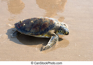 estado, verde, tartaruga, threatened., rastejar, (chelonia,...
