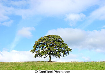 estate, albero quercia