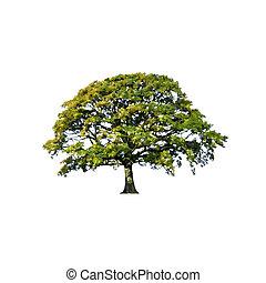 estate, astratto, albero quercia