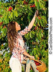 estate, donna, ciliegia, scala, albero, stare in piedi, raccogliere