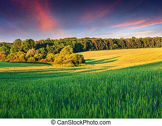 estate, frumento, paesaggio, colorito, campo