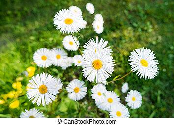estate, naturale, margherite, luminoso, erba, verde, fondo, fiori