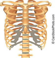 esternón, sc, thorax-, costillas, clavícula