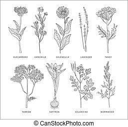 estilo, set., hierbas, vector, hannddrawn, médico