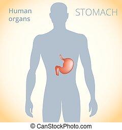 estomac, corps, système, digestif, emplacement, humain