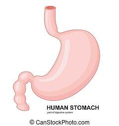 estomac, dessin animé, humain