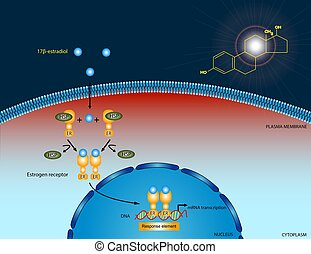 Estradiol signaling pathway