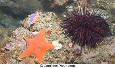 estrellas de mar, pilluelo