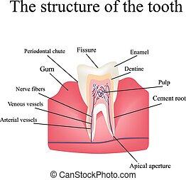 estructura, anatómico, diente, aislado, plano de fondo