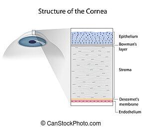 estrutura, de, human, córnea, eps10