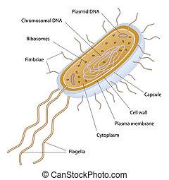 estrutura, de, um, bacteriano, célula