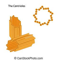 estrutura, eps8, centrioles