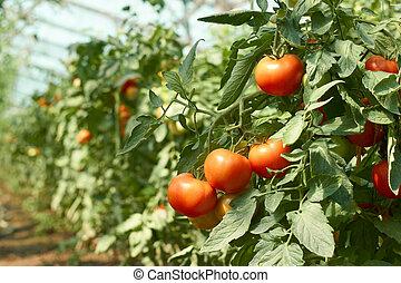 estufa, tomates, grupo