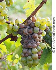 etapa, savenniere, uva, francia, temprano, botrytised, ...