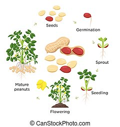etapas, fondo., crecimiento, vector, vida, plant., design.,...