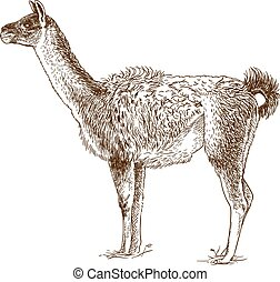 etching drawing illustration of lama - Vector antique...